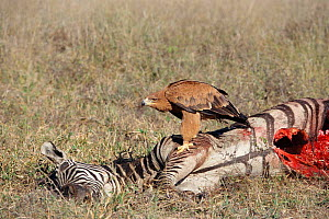 Tawny eagle {Aquila rapax} feeding on Zebra carcass,  Zimbabwe  -  John Downer