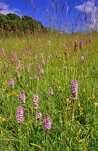 Common spotted orchids in hay meadow {Dactylorhiza fuchsii} Organic meadow, S. Glos, UK  -  WILLIAM OSBORN
