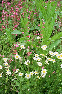 Wild flowers growing together on roadside. Marguerite, Red campion, Teasel. Glos, UK  -  WILLIAM OSBORN