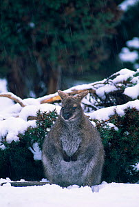 Bennett's / Red necked wallaby in snow {Macropus r rufogriseus} Tasmania, Australia  -  John Cancalosi