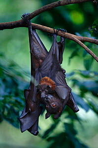 Flying fox with baby {Pteropus genus} hanging upside down from branch. Occurs in Malaysia  -  Anup Shah