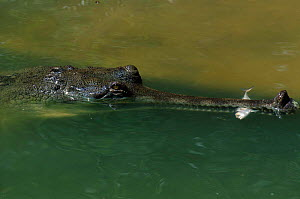 Indian gharial {Gavialis gangeticus} feeding on fish  India. Endangered species  -  Anup Shah