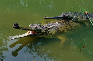 Indian gharials in water {Gavialis gangeticus} India Endangered species. Male left with appendage on end of snout, female on right.  -  Anup Shah