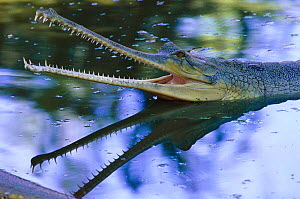 Indian gharial {Gavialis gangeticus} in water with mouth wide open, India, Endangered species  -  Anup Shah