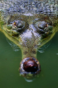 Head on view of male Indian gharial {Gavialis gangeticus} India, Endangered species  -  Anup Shah