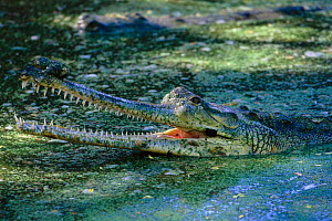 Indian gharial {Gavialis gangeticus} with mouth open at surface  India, Endangered species  -  Anup Shah