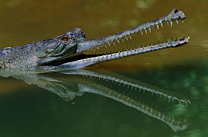 Indian gharial {Gavialis gangeticus} head and mouth profile, reflected in water, India. Endangered species.  -  Anup Shah