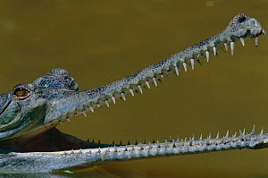 Indian gharial {Gavialis gangeticus} head and mouth profile, India, Endangered species  -  Anup Shah