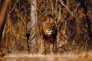 Male Asiatic lion {Panthera leo persica} Gir Forest, Gujarat, India, Endangered species  -  Anup Shah