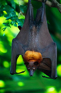 Flying fox {Pteropus genus} hanging from branch in tree, occurs in Malaysia, South East Asia  -  Anup Shah