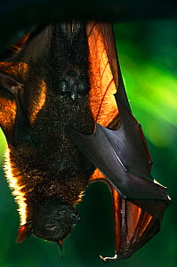 Flying fox {Pteropus genus} asleep and hanging upside down from branch, occurs in Malaysia, South East Asia  -  Anup Shah