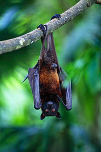 Flying fox {Pteropus genus} hanging upside down from branch, occurs in Malaysia, South East Asia  -  Anup Shah