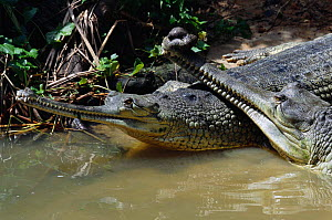 Two Indian gharials {Gavialis gangeticus} India, Endangered species. The male (on the right) has an appendage or ghara on his nose which amplifies mating call.  -  Anup Shah