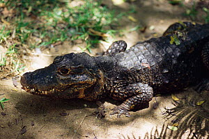 West African dwarf crocodile {Osteolaemus tetraspis}, occurs in West Africa, Endangered species - Anup Shah