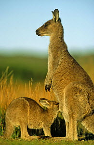Eastern grey kangaroo with joey suckling (Macropus giganteus) Australia - Ingo Arndt