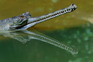 Indian gharial {Gavialis gangeticus} head reflected in water, India, Endangered species.  -  Anup Shah