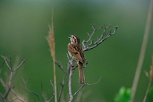 Song sparrow singing {Zonotrichia melodia} Stone Harbor, New Jersey, USA.  -  Doug Wechsler