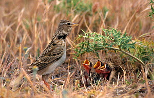 Calandra lark at nest with chicks {Melanocorypha calandra} Spain  -  Jose Luis GOMEZ de FRANCISCO