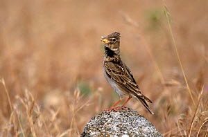 Calandra lark with insect prey {Melanocorypha calandra} Spain  -  Jose Luis GOMEZ de FRANCISCO