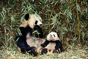 Giant panda mother and baby {Ailuropoda melanoleuca} Wolong valley, China - Pete Oxford