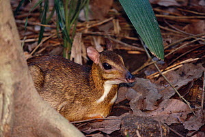 Lesser Malay mouse deer {Tragulus javanicus} occurs in SE Asia - Pete Oxford