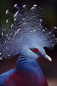 Crowned pigeon head portrait {Goura sp} occurs in  New Guinea and Ass Is. - Pete Oxford