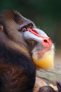 Mandrill head portrait male {Mandrillus sphinx} occurs West Africa forests  -  Pete Oxford