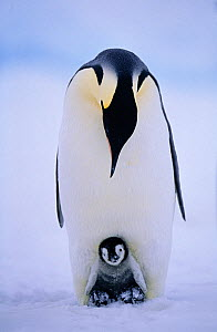 Emperor penguin {Aptenodytes forsteri} brooding chick on feet Weddell Sea, Antarctica - DAVID TIPLING
