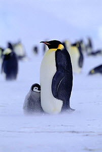 Adult Emperor penguin {Aptenodytes forsteri} with chick at feet huddling for warmth, Weddell Sea, Antarctica  -  David Tipling