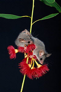 Little pygmy possums {Cercarteus lepidus} on flowers, native to the forests of South East Australia & Tasmania  -  Dave Watts