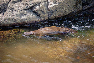 Platypus swimming in water {Ornithornhynchus anatinus} native to East Australia and Tasmania. Poisonous monotreme mammal that lays eggs and then incubates them in a burrow.  -  Dave Watts