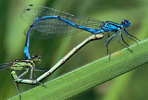 Azure damselflies mating {Coenagrion puella} Cornwall, UK. Damselflies have brushes on their penises that they use to scoop rival sperm from the female's reproductive tract, thereby ensuring paternity...  -  Ross Hoddinott