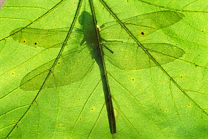 Emperor dragonfly {Anax imperator} silhouette seen through leaf. Cornwall, UK - Ross Hoddinott