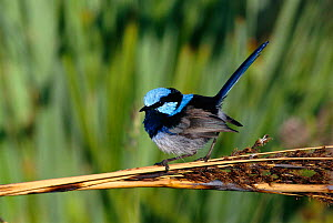Portrait of Blue or Superb fairy wren {Malurus cyaneus} found in South East Australia and Tasmania in forests, swamps and gardens. - Dave Watts