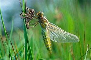 Broad bodied chaser dragonfly just emerged from nymphal case {Libellula depressa} Cornwall, UK  -  Ross Hoddinott