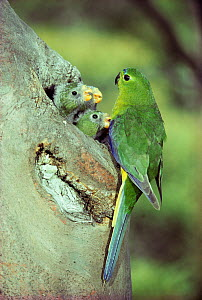 Male Orange bellied parrot {Neophema chrysogaster} feeding young at nest, Tasmania. This Critically Endangered species breeds only in South West World Heritage Wilderness and this is the only nest pho...  -  Dave Watts