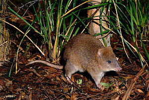 Long-footed potoroo {Potorous longipes} on forest floor, South East Australia. Endangered species.  -  Dave Watts