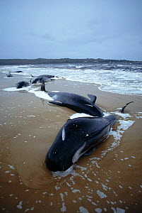 Dead Long finned pilot whales {Globicephala malaena} stranded on beach, Australia - Dave Watts