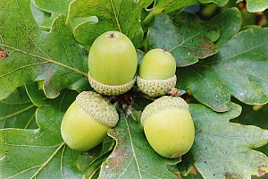 RF- Acorns of English oak tree (Quercus robur). Cornwall, UK. (This image may be licensed either as rights managed or royalty free.) - Ross Hoddinott