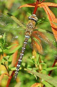 Southern hawker dragonfly {Aeshna cyanea} Broxwater, Cornwall, UK  -  Ross Hoddinott