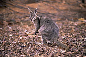 Bridled nailtail wallaby {Onychogalea fraenata} Australia. Endangered  -  Dave Watts