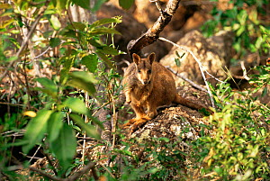 Allied rock wallaby {Petrogale assimilis} Queensland, Australia  -  Dave Watts