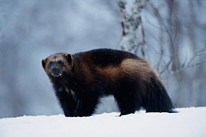Wolverine in snow {Gulo gulo} captive, Norway - Pete Cairns