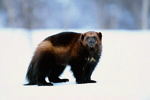Wolverine in snow {Gulo gulo} captive Norway - Pete Cairns
