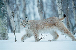 RF- European lynx (Lynx lynx) walking in birch forest in snow, Central Norway. (This image may be licensed either as rights managed or royalty free.)  -  Peter Cairns