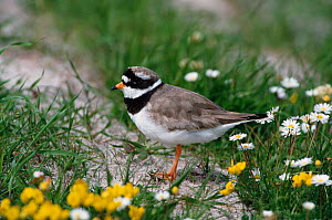 Ringed plover on machair {Charadrius hiaticula} South Uist, Scotland, UK - Martin H Smith