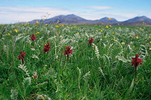 Flowers on machair South Uist, Outer hebrides, Scotland, UK - Martin H Smith