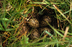 Redshank {Tringa totanus} ground nest with eggs on Machair, South Uist, Hebrides, Scotland - Martin H Smith