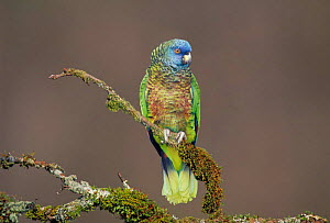 St Lucia parrot {Amazona versicolor} Endangered species found only on St Lucia, Lesser Antilles, Caribbean.  -  Dave Watts