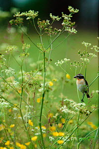 Whinchat male with insect prey {Saxicola rubetra} Sweden - Bjorn Forsberg